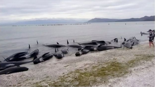 Stranded pilot whales are seen on the beach in Golden Bay, New Zealand after one of the country's largest recorded mass whale strandings on Friday, in this still frame taken from video released 10 February 2017.
