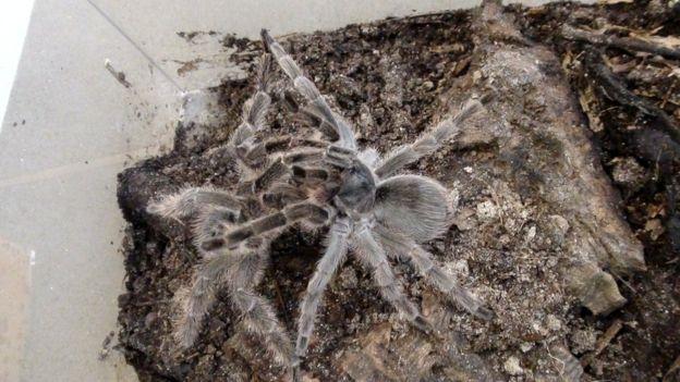 Montserrat tarantulas mating