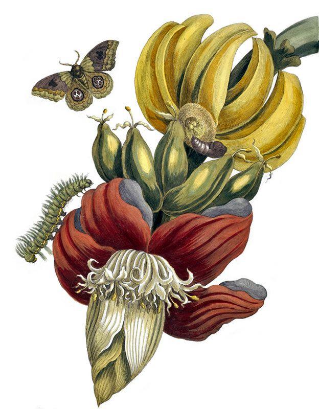 desenho de uma penca de banana