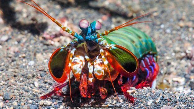Peacock mantis shrimp (Odontodactylus scyllarus) kreveti