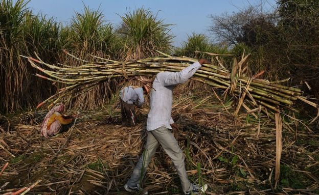 An Indian farmer carries sugarcane to load on a tractor