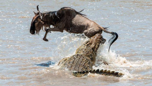Crocodilo e antílope