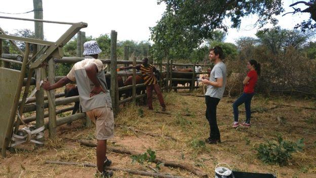 Piloto con ganado en la reserva Loisaba Conservancy en Kenia