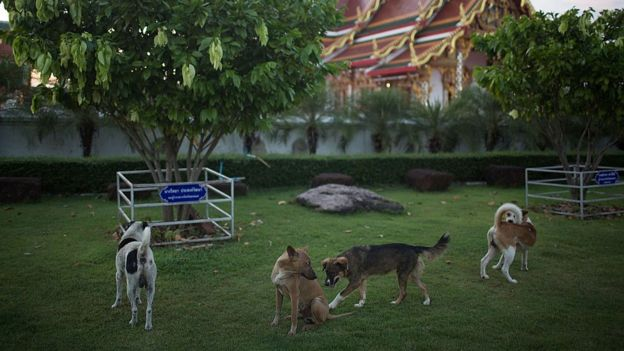 A group of stray dogs plays in a Buddhist temple on November 6, 2014 in Sakon Nakhon, Thailand.
