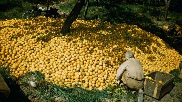Hombre recolecta limones.