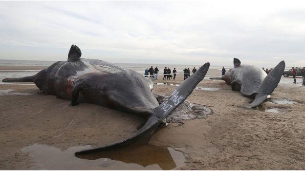 Baleias mortas na costa britânica