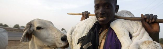 A Fulani herdsman carrying a calf on his shoulder in Kano, northern Nigeria.