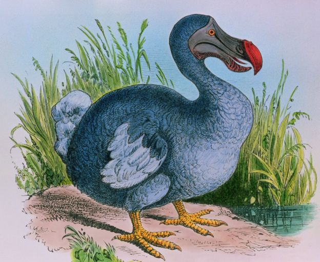 An engraving of the extinct dodo
