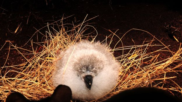 Tristan albatross chick
