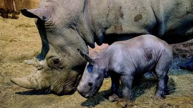 baby grey rhino next to adult