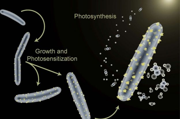'Cyborg' bacteria deliver green fuel source from sunlight