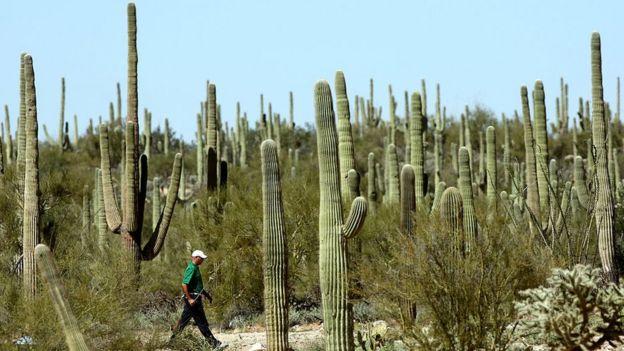 Saguaros y un golfista caminando entre medio de ellos.