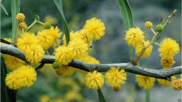 نبتة الأكاسيا