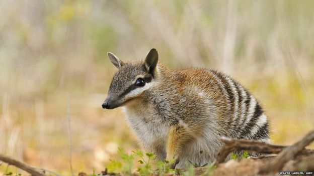 Rewilding may rescue vulnerable australian animals bbc news an australian numbat sciox Gallery