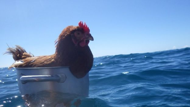 Monique the hen inside a cooking pot in the sea
