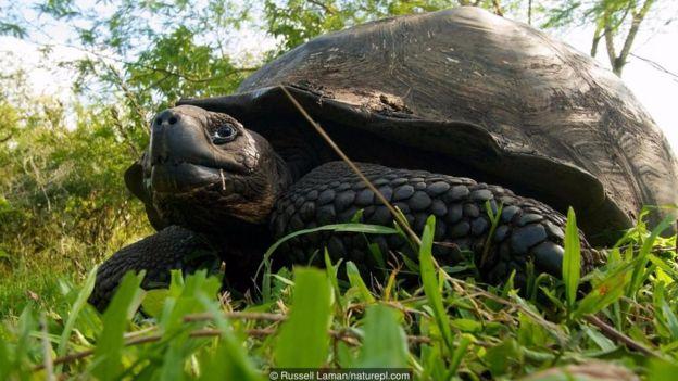 Rùa khổng lồ Galápagos
