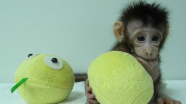 Hua Hua, one of the first monkey clones made by somatic cell nuclear transfer