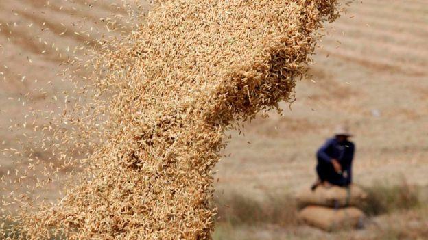 Plantação de arroz na Tailândia