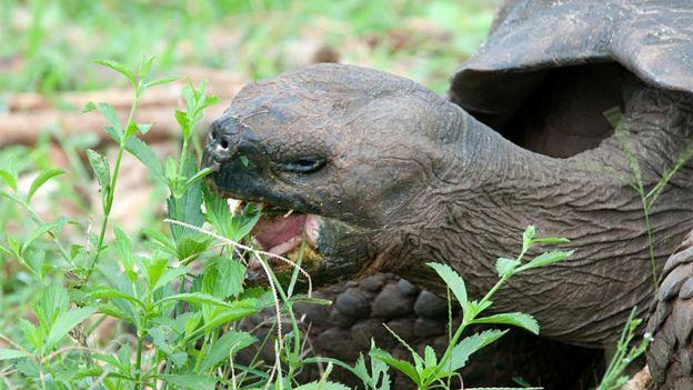 Tortuga gigante comiendo vegetación