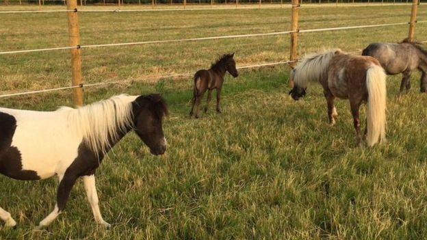 Miniature horses and foal
