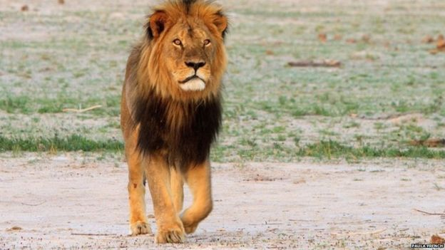 what cecil the lion means to zimbabwe bbc news