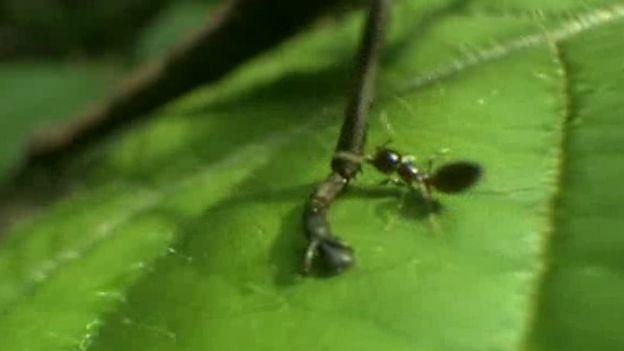 Hormiga picando al insecto en las patas
