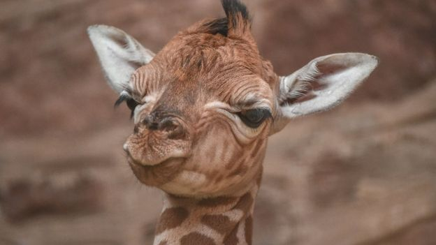 close up of giraffe's face