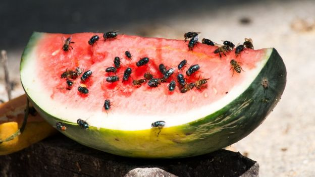 Watermelon flies