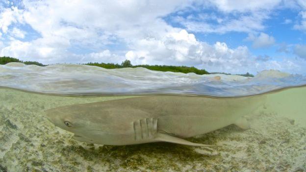 Tiburón toro en aguas no profundas.