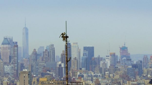 The highest concentration of nesting peregrines on the planet is in NYC. Skyscrapers act like cliffs and the city is filled with their favourite prey - pigeons