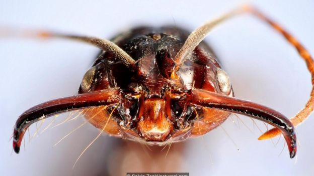 Tələçənə qarışqası (Odontomachus sp.)