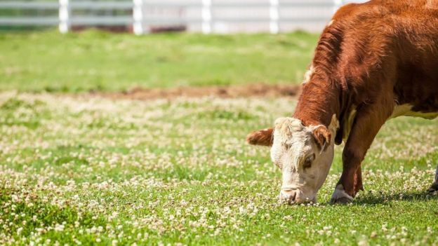 Una vaca pastando