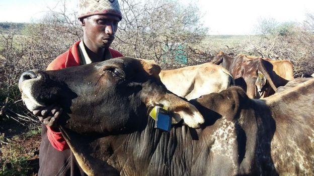 Animales con caravanas inteligentes y un trabajador de la reserva Loisaba Conservancy en África