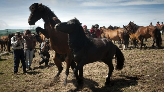 Photographers take pictures of wild horses in Saucedo, near Santiago de Compostela, Spain.