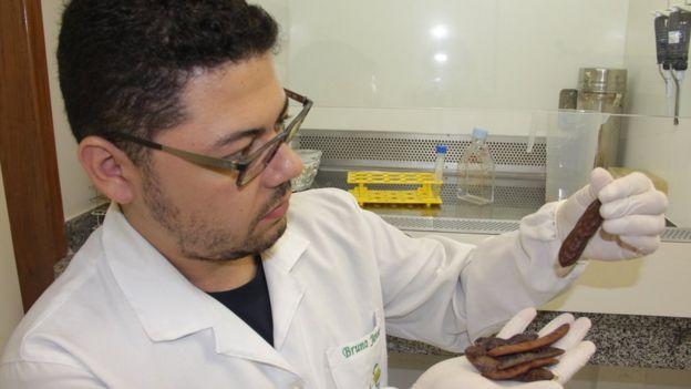 99427945 2 - O fruto amazônico que pode baratear e simplificar o tratamento da leishmaniose