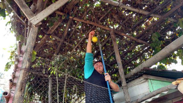 Vecina de la Comunidad de Eliseo Collazos en Lima recogiendo una fruta