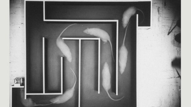 Siçovulun beyni, yuxuya daldıqca labirintdəki hərəkətlərini təkrarlayır