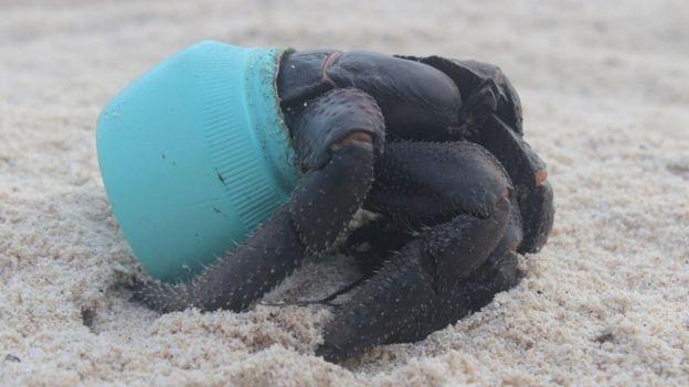 Caranguejo em pote plástico