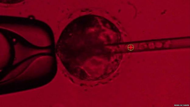 Resultado de imagen de human cell injecting pig