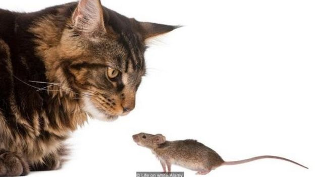 Gatos e rato