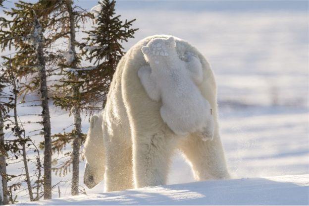 Oso polar con su cría. Foto: Daisy Gilardini