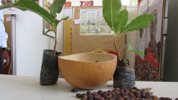 Deux petits arbres de karité âgés de 4 ans et des noix exposées dans un stand