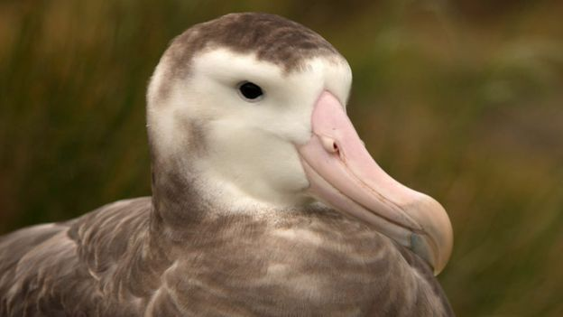Female Tristan albatross