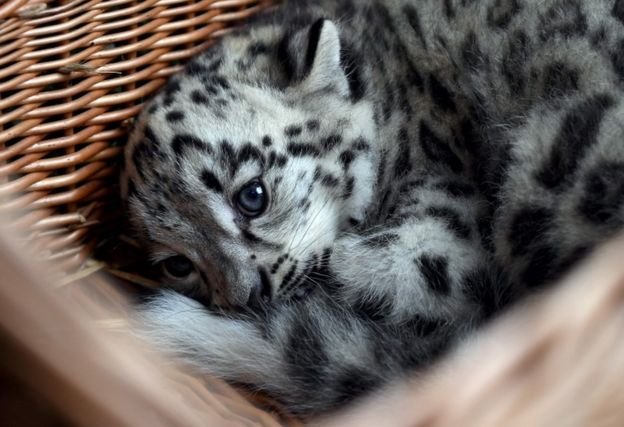 Snow leopard no longer endangered BBC News