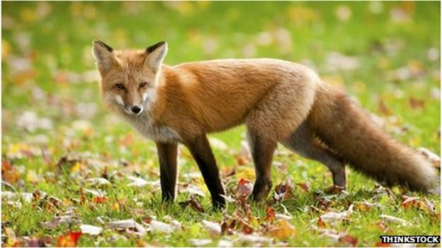 Vicious' fox traps eight people in Cambridgeshire sports club ...