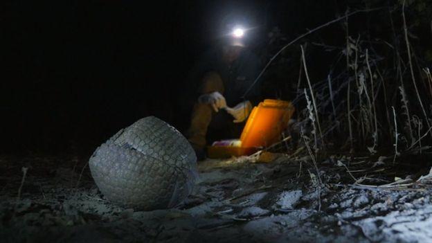 Tatu-bola sendo estudado durante expedição noturna