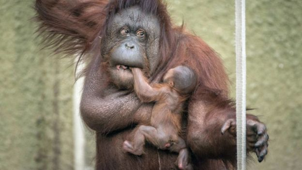 full body of baby orangutan visible, holding on to mother's chest
