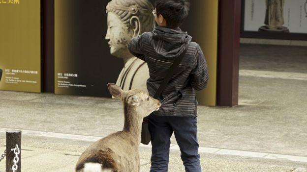 A deer bites a boy's coat in Nara, Japan
