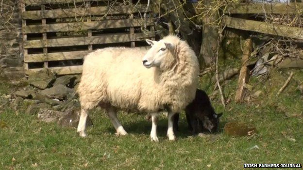 The ewe and her geep
