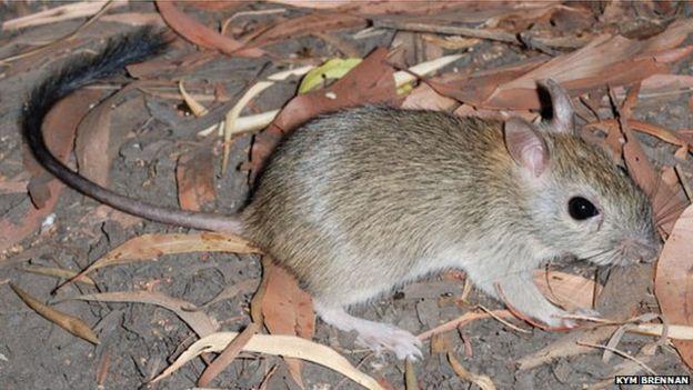 Are rats mammals?